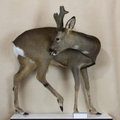 Roe Buck by Dave Hollingworth