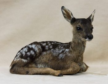 Roe Fawn by Will Matthews