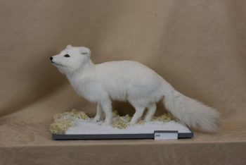 Arctic Fox by Jack Fishwick