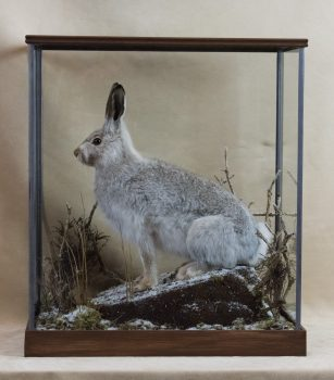 Mountain Hare by Dave Hornbrook