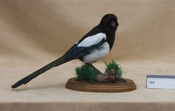 Magpie by Stephen McIntyre