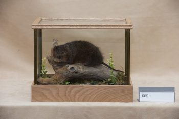 Water Vole by Dave Hornbrook
