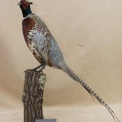 Pheasant by Isobel Hiom