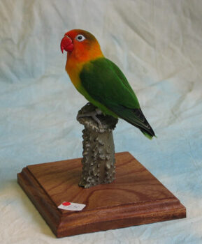 Fischer's Lovebird by David Spaul 2003