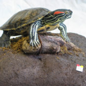 Red-eared Terrapin by Ruth Pollitt 2003