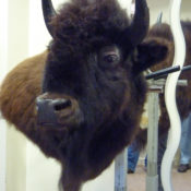 Bison by Steve Newcombe