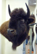 Bison by Steve Newcombe 2009