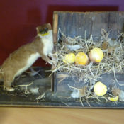 Stoat by Judy Perrin