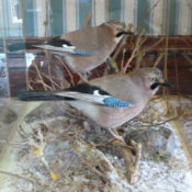 Jays by Barry Wilson 2012