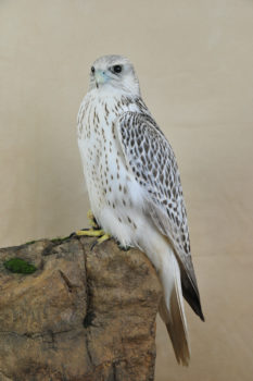 Gyr Falcon by Mike Gadd