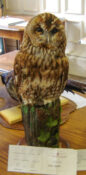 Tawny Owl by Dennis Baker 2007