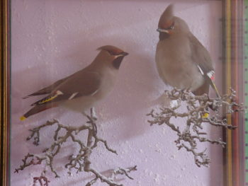 Waxwings by CM 2001