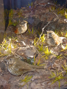 Song Thrush and Redwings by Jack Fishwick