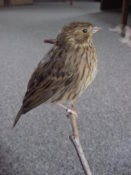 Corn Bunting by CM 2001