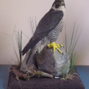 Peregrine Falcon by Steve Toher 2001