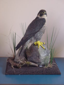 Peregrine Falcon by Steve Toher