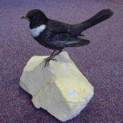 Ring Ouzel by CM 2002