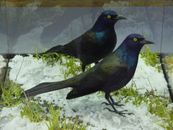Grackle by Jack Fishwick