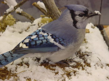 Blue Jay by Jack Fishwick