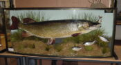 Pike with Roach by Barry Williams 2002