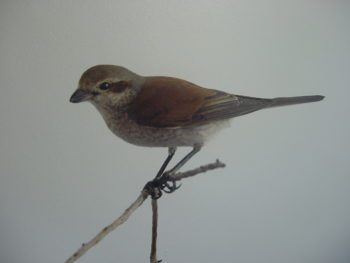 Red-backed Shrike by CM