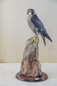 Female Peregrine by Rob Marshall