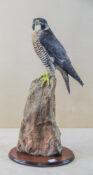 Female Peregrine by Rob Marshall 2013