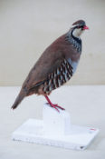 Red-legged Partridge by Claire Morgan 2013