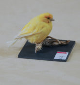 Canary by Claire Morgan