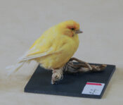 Canary by Claire Morgan 2013