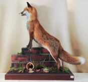 Fox by Stephen Brown 2013