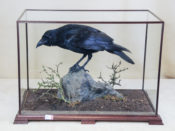 Raven by David Irwin 2013