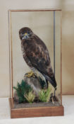 Buzzard by William Hales 2013