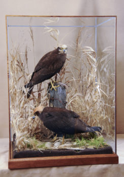 Marsh Harriers by William Hales