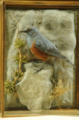 Rock Thrush by William Hales 2013