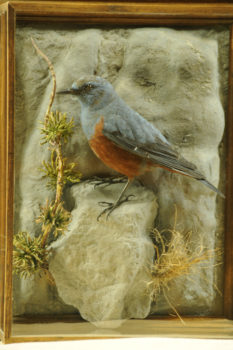 Rock Thrush by William Hales