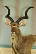 Kudu by Steve Newcombe 2013