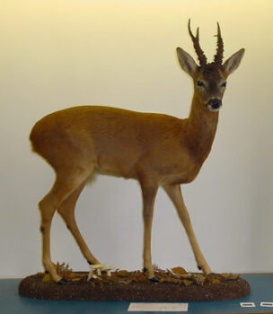 Roe Buck by Jonathan Standing 2001
