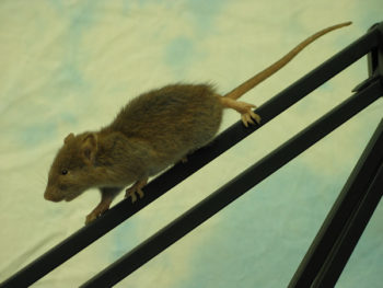 Brown Rat by Emily Mayer