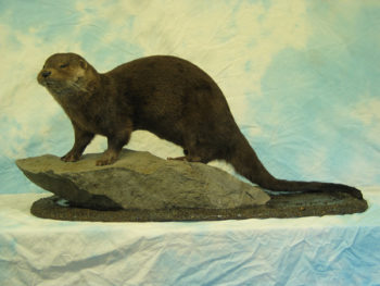 Otter by Jonathan Standing
