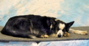 Border Collie by Emily Mayer 2004