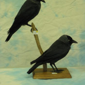 Jackdaws <br> by Patrick Gates
