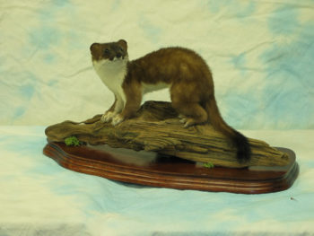 Stoat by Dave Hornbrook