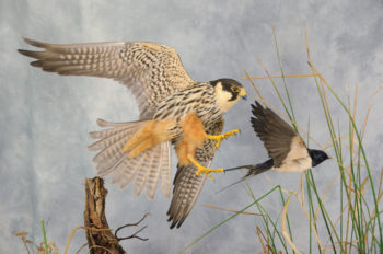 Hobby chasing Swallow by Mike Gadd