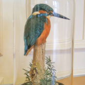 Kingfisher by William Hales 2007