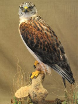 Ferruginous Hawk by Dave Hornbrook 2006
