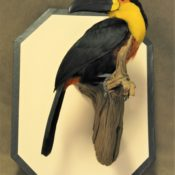 Toucan by Carl Church 2006