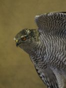 Goshawk by Mike Gadd 2006