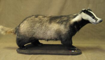 Badger by Steve Heyes 2006