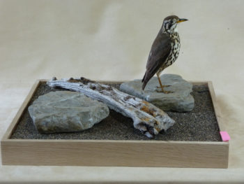 Groundscraper Thrush by Jack Fishwick